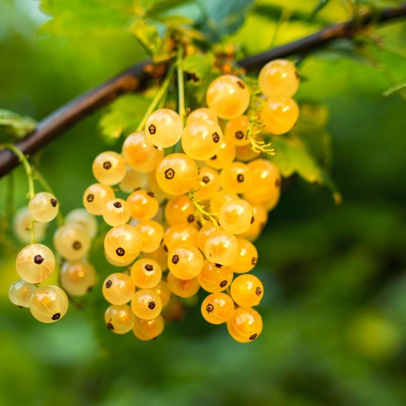 Ribsbusk White Versailler - Hvid Ribs - Ribes rubrum Whiter Versailler