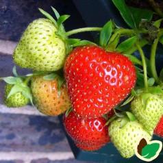 Jordbærplanter Evie - Remonterende - 6 Pack