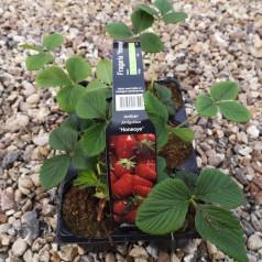 Jordbærplanter Honeoye - Tidlig - 6 Pack