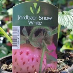 Jordbærplanter Snow White