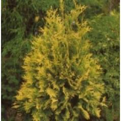 Thuja occidentalis Sunkist / 40-50 cm.
