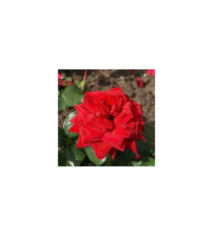 Rose Burgund 81 - Storblomstret Rose / Barrods