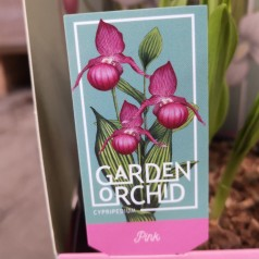 Cypripedium Pink - Fruesko / Haveorkide