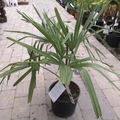 Hørpalme - Trachycarpus fortunei / 60-80 cm.