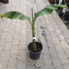 Bananpalme - Musa Basjoo / 60-80 cm.