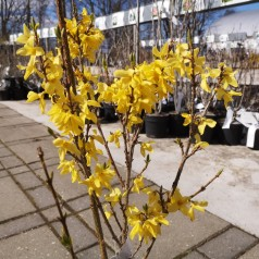 Forsythia intermedia Weekend ( Courtalyn ) - Forsytia - Vårguld