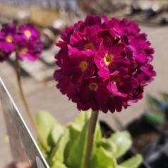 Primula denticulata Rubin - Kugleprimula