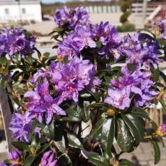 Dværg Rhododendron Blue Tit