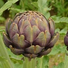 Lilla artiskok - Cynara scolymus purple