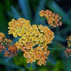 Achillea millefolium Terracotta / Røllike