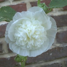 Alcea rosea Pleniflora Hvid / Stokrose
