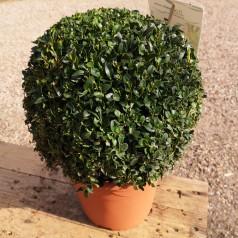 Kuglebuksbom 25-30 cm - Buxus sempervirens
