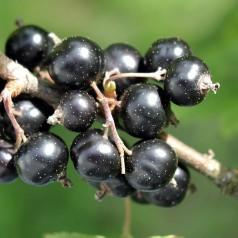 Solbærbusk Ben Lomond - Ribes nigrum Ben Lomond