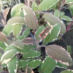 Broget Salvie Tricolor - Salvia officinalis Tricolor