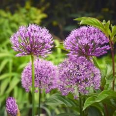 Tysk hvidløg - Allium senescens