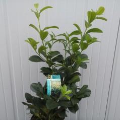 Prunus laurocerasus Etna - Laurbærkirsebær / 50-60 cm.