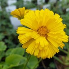 Doronicum orientale Little Leo / Gemserod