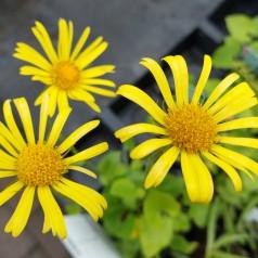 Doronicum orientale Magnificum / Gemserod