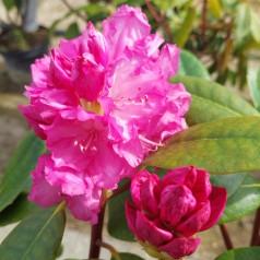 Rhododendron Yakushimanum Blurettia