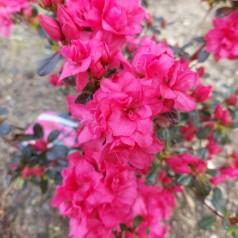 Rhododendron Rokoko - Japansk Azalea
