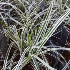 Carex oshimensis Everest - Japansk Star