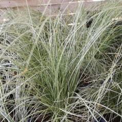 Carex comans Frosted Curls - Finstrået Star