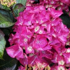 Hydrangea macrophylla Black Diamonds Red Angel Purple - Hortensia