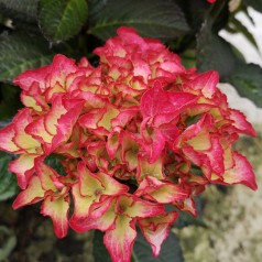 Hydrangea macrophylla Black Diamonds Red Angel - Hortensia