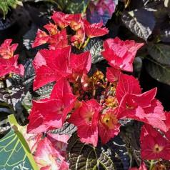 Hydrangea macrophylla Black Diamonds Teller Dark Angel Red - Hortensia