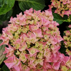 Hydrangea macrophylla Forever and Ever Pink ( Roze ) - Havehortensia