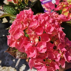 Hydrangea macrophylla Forever and Ever Rød - Havehortensia