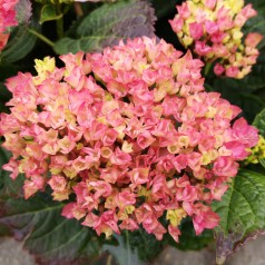 Hydrangea macrophylla Magical Revolution Pink / Hortensia