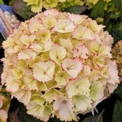 Hydrangea macrophylla Switch Pandorra White Pink - Havehortensia