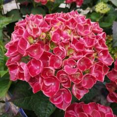 Hydrangea macrophylla Switch Fayette Pink - Havehortensia
