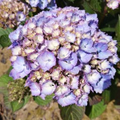 Hydrangea macrophylla Switch Kassiopeia Blue - Havehortensia
