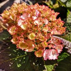Hydrangea macrophylla Switch Kassiopeia Pink - Havehortensia