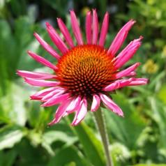 Echinacea purpurea SunSeekers Pink- Purpursolhat