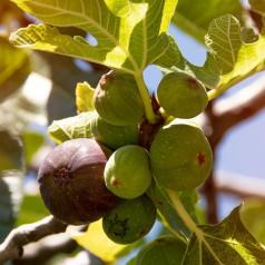Figen Røsnæs - Ficus carica Røsnæs