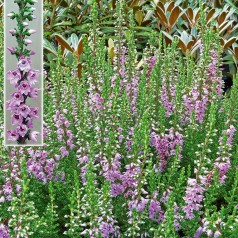 Efterårslyng - Calluna vulgaris Jysk Naturform