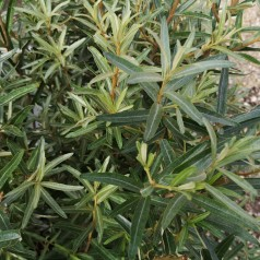 Havtorn Tamo - Hanplante - Hippophae rhamnoides Tamo