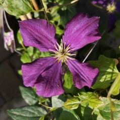 Clematis viticella Etoile Violette - Klematis