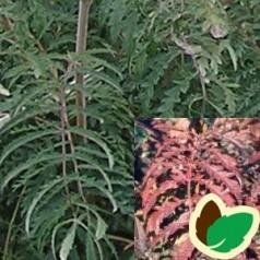Sorbus aucuparia Chinese Lace - Fligbladet Røn / 125-150 cm.