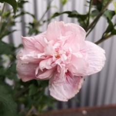 Hibiscus syriacus Pink Chiffon / Syrisk Rose