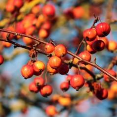 Sargents Æble 50-80 cm. - Bundt med 10 stk. barrodsplanter - Malus sargentii