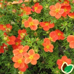 Buskpotentil Red Robin - Lette buske - Bundt med 5 stk. barrodsplanter -  Potentilla fruticosa Red Robin