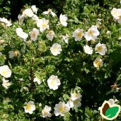 Klitrose, Rosa pimpinellifolia