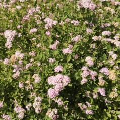 Japansk Dværgspiræa Little Princess - Lette buske - Bundt med 5 stk. barrodsplanter - Spiraea japonica Little Princess