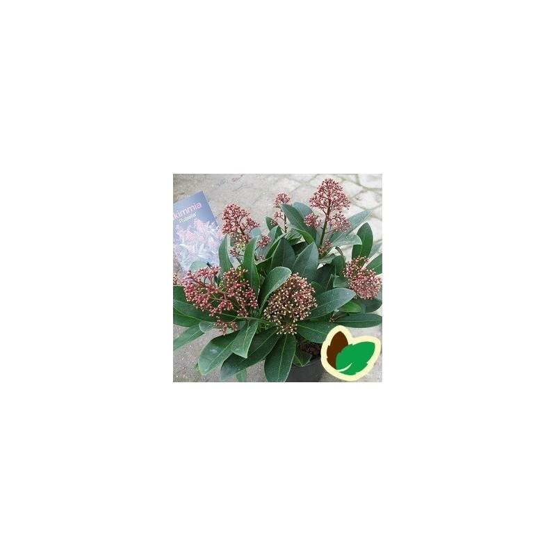 Skimmia japonica Rubella / 30-40 cm.
