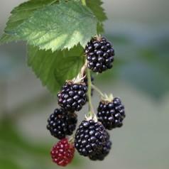 Brombær Black Satin - Tornfri