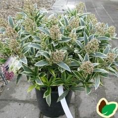 Skimmia japonica Magic Marlot / Hvidrandet Skimmia